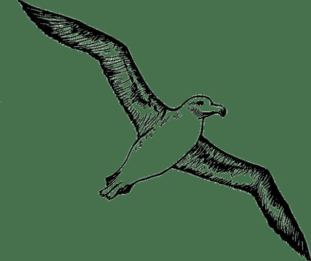 альбатрос - albatross