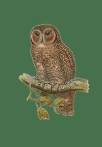 сова - owl