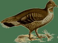 фазан - pheasant