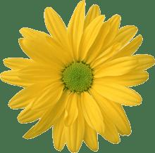цветок желтого цвета|yellow flower